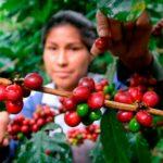 Как растет кофе – виртуальный тур на кофейную плантацию