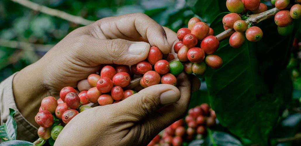 Где выращивают кофе – страны-лидеры по производству и экспорту